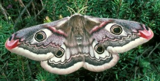 Female-emperor-moth-