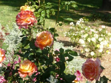 may62012  roses 003