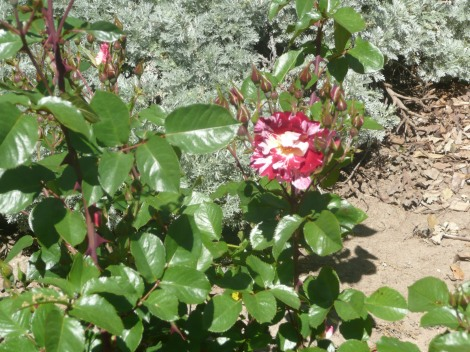 April 14 flowers 002