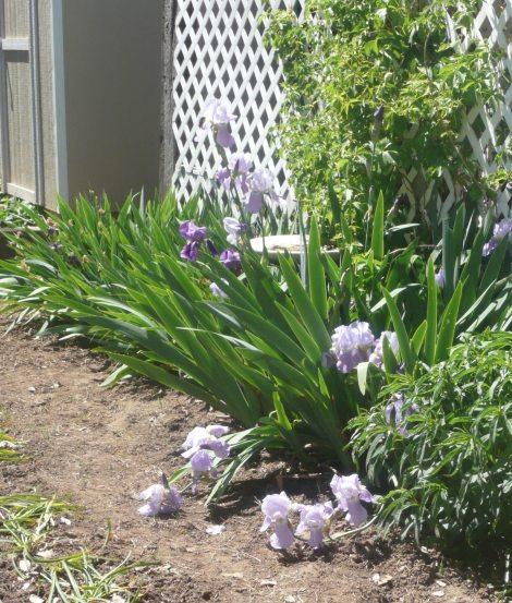 April 14 flowers 014