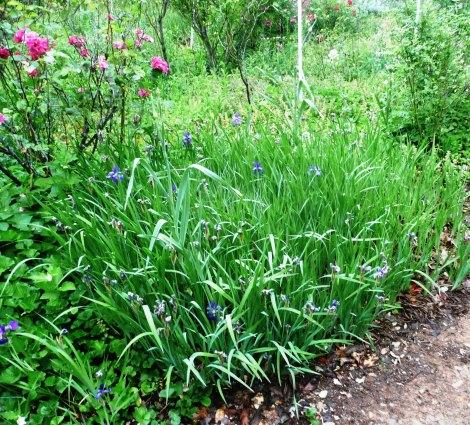 May 6 garden velma 018