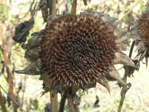 october 21 dead zinnas & sunflowers 006