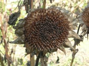 october 21 dead zinnas & sunflowers 006