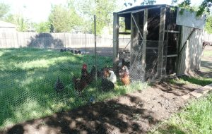 apr5 moving chickens 009