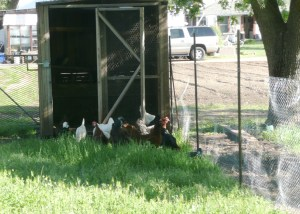 apr5 moving chickens 010