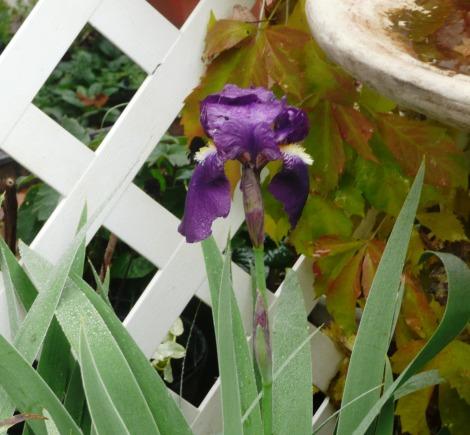 iris   nove 2011 002
